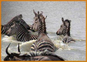 rsz_1tanzania-familie-safari-zebras-in-rivier